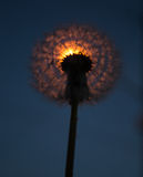 Glowing Dandelion Royalty Free Stock Images