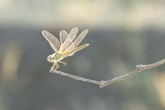 Dragonfly on a thin twig Royalty Free Stock Photo