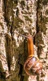 Glowing elongated snail with brown helix crawling upward on warm sunny cortex of tree Stock Photo