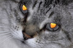 Glowing Eyes. Close view of a cat with very scary looking orange eyes Royalty Free Stock Image