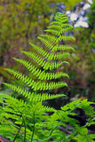 Glowing fern. A fern reaching towards the sun Royalty Free Stock Images