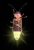 Glowing Firefly. A firefly is glowing in the dark Stock Photography
