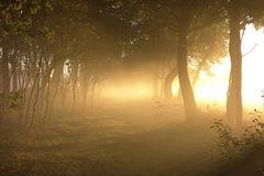 Glowing Foggy Path of Trees on Fields Edge. A classical sun filled morning image of a path through farm fields illumined in the morning fog by gold rays of the Royalty Free Stock Photography