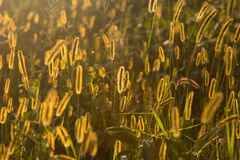Glowing Foxtail. Foxtail plants are illuminated by the setting sun creating a warm glow effect Royalty Free Stock Photos