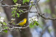 Glowing Golden Blue-winged Warbler. A blue-winged warbler glows golden yellow against the white blooming blossoms of an apple tree stock image
