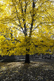 Glowing Golden Tree in Black and White Landscape Royalty Free Stock Images
