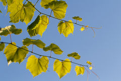 Glowing grape leaves against the blue sky. Glowing grape leaves against blue sky royalty free stock photo