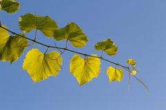 Glowing grape leaves against the blue sky. Glowing grape leaves against blue sky royalty free stock images