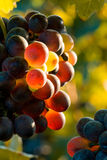 Glowing grapes Autumn image. Red grapes in sunset light. Shallow dof Royalty Free Stock Images