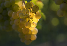 Glowing grapes on grapevine backlit Royalty Free Stock Image