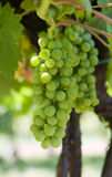 Glowing green wine grapes. Beuatifull glowing green wine grapes Stock Image