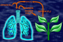 Glowing human lungs-Oxygen-Carbon Dioxide Cycle Royalty Free Stock Photo