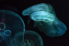 Glowing jellyfish close-up in the aquarium Royalty Free Stock Image