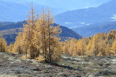 Glowing Larch trees on gentle slope Royalty Free Stock Photo