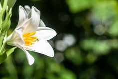 Glowing lily Royalty Free Stock Photography