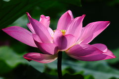 Glowing lotus Royalty Free Stock Image