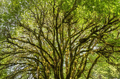 Glowing Moss-Covered Bigleaf Maple Royalty Free Stock Image