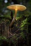 Glowing mushroom. On moss-covered stump Royalty Free Stock Photo