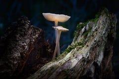 Glowing mushroom. On moss-covered stump Stock Image