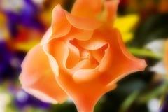 Glowing Orange Rose Royalty Free Stock Images