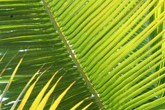 Glowing Palm Fronds. The light filtering through these palm fronds, found on St. John in the USVI, creates layers of green and yellow spikes stock photography