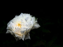 Glowing Peony Stock Photography