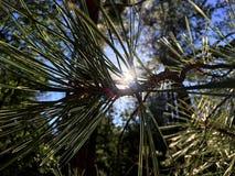Glowing Pine Needles Stock Image