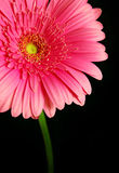 Glowing Pink Gerber Daisy. Bright pink gerber daisy against a black background Royalty Free Stock Image