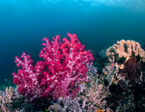 Glowing Pink Soft Coral Tree Royalty Free Stock Photography