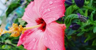 Glowing pink tropical flower royalty free stock photo