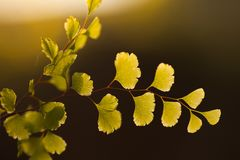 Glowing plant at sunset. Sun rise dawn yellow glow glowing leaves   tree green stem stems leaf rain shower water light dramatic plant biology botany grapw grape stock image