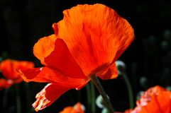 Glowing Poppy. A blooming poppy lit up by the morning sun stock photo