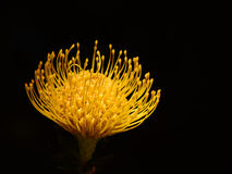 Glowing Protea. A bright yellow Protea flower on a black background Royalty Free Stock Photography