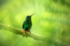 Glowing Puffleg sitting on branch, hummingbird from tropical rain forest,Ecuador,bird perching,tiny beautiful bird resting on tree. In garden,clear background stock photo