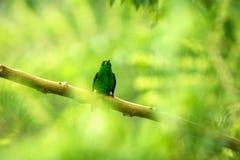 Glowing Puffleg sitting on branch, hummingbird from tropical rain forest,Ecuador,bird perching,tiny beautiful bird resting on tree. In garden,clear background royalty free stock photo