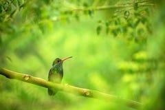 Glowing Puffleg sitting on branch, hummingbird from tropical rain forest,Ecuador,bird perching,tiny beautiful bird resting on tree. In garden,clear background royalty free stock image