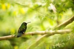 Glowing Puffleg sitting on branch in rain, hummingbird from tropical rain forest,Colombia,bird perching,tiny beautiful bird restin. G on tree in garden,clear stock photos