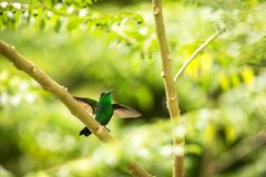 Glowing Puffleg sitting on branch in rain, hummingbird from tropical rain forest,Colombia,bird with outstretched wings perching on. Tree in garden,clear royalty free stock images