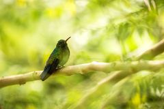 Glowing Puffleg sitting on branch in rain, hummingbird from tropical rain forest,Colombia,bird perching,tiny beautiful bird restin. G on tree in garden,clear royalty free stock images