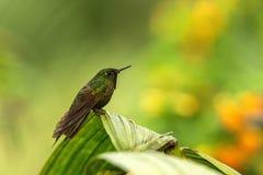 Glowing Puffleg sitting on leaf, hummingbird from tropical rain forest,Ecuador,bird perching,tiny beautiful bird resting on tree i. N garden,clear background royalty free stock images