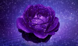 Abstract Wet Glowing Dark Purple Rose Flowing on Water stock images