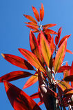 Glowing Red. Hawaiian Ruby, Red Ti leaves reach for the sky as sunlight filters through each leave causing them to glow red.  Vivid, blue sky surrounds leaves Royalty Free Stock Photography