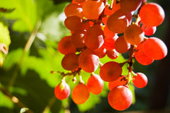 Glowing red grapes. Close-up Stock Photo