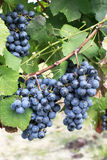 Glowing red wine grapes Stock Photos