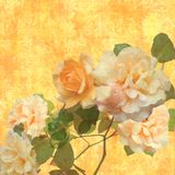 Glowing roses. Glowing yellow and peach roses on golden flourished background Stock Photo