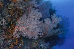 Glowing sea fans on wall reef stock photography