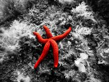A glowing starfish in the Mediterranean Sea relaxing against a black and white background. A glowing starfish in the Mediterranean Sea relaxing and minding its stock photos