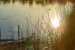 Free Glowing Sun Reflection On Golden Pond Water Wit Reeds And Duck Stock Photography - 166309142