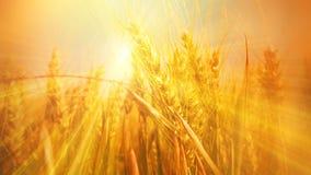 Glowing sunbeams in a grain field Stock Image