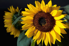 Glowing sunflower. Shining sunflower on the black background Stock Images